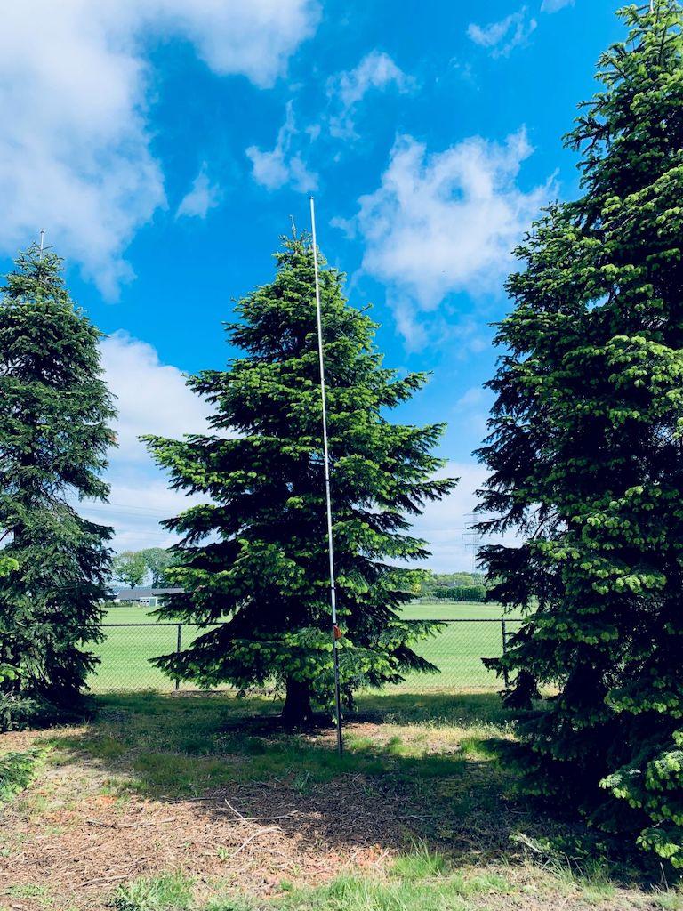 Abies nordmanniana specimen trees (1)