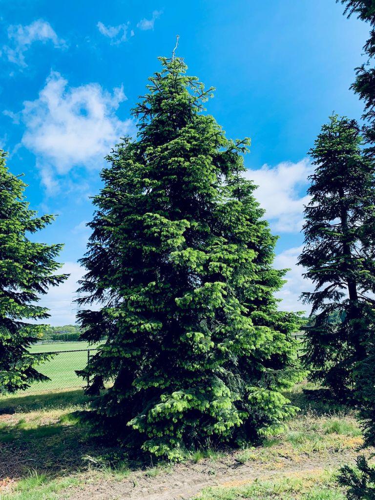 Abies nordmanniana specimen trees (2)