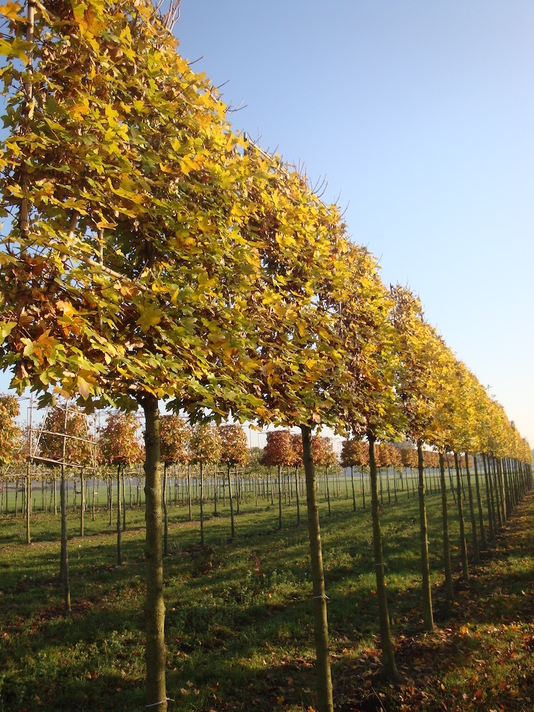 Acer campestre 'Elegans' pleached trees 20-25 grade in early autumn