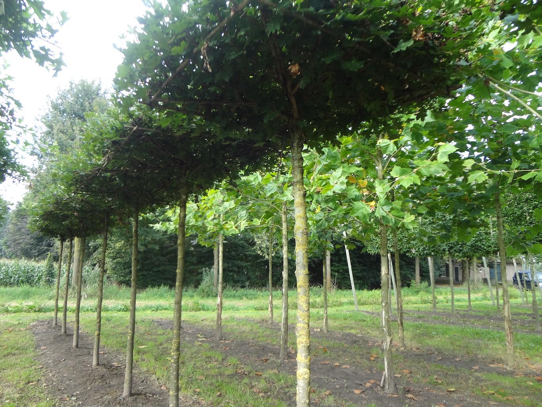 Acer campestre 'Elegant' roof-form trees 18-20 grade