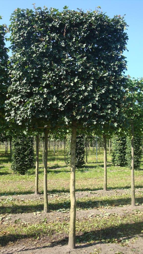 Acer campestre 'Elsrijk' pleached tree 20-25 grade