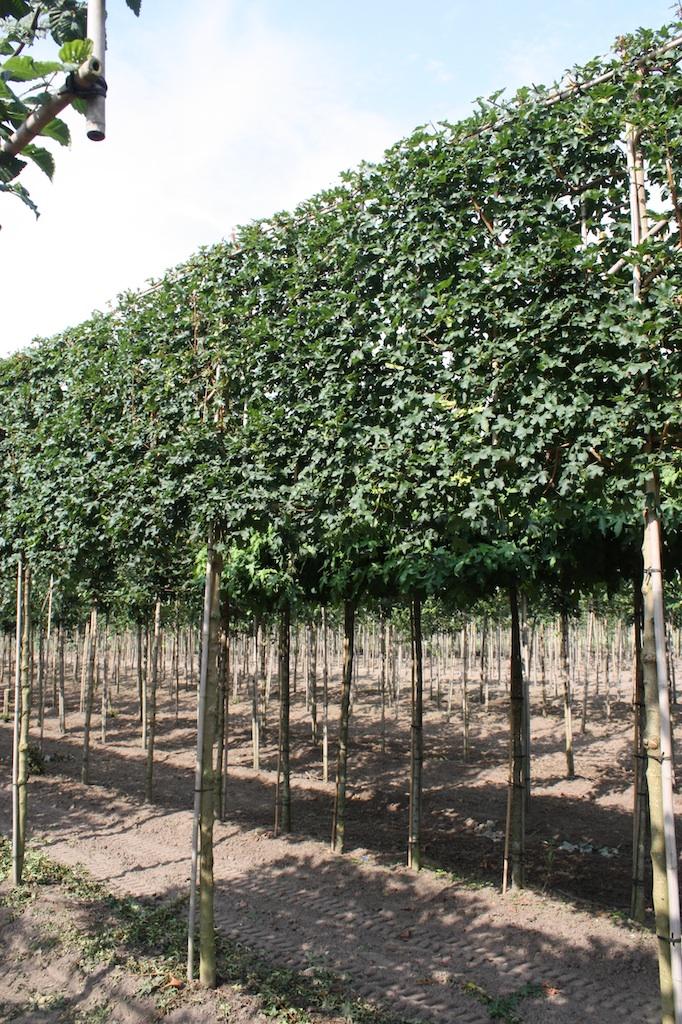Acer campestre pleached 18-20 grade