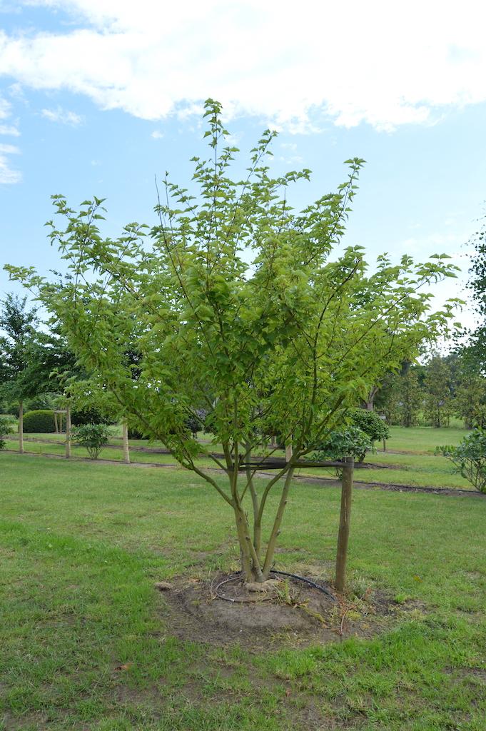Acer capillipes multi-stem