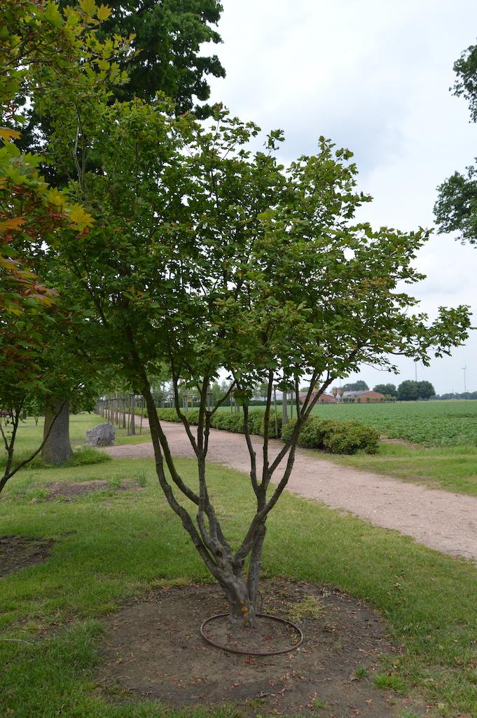 Acer japonicum 'Vitifolium' multi-stem