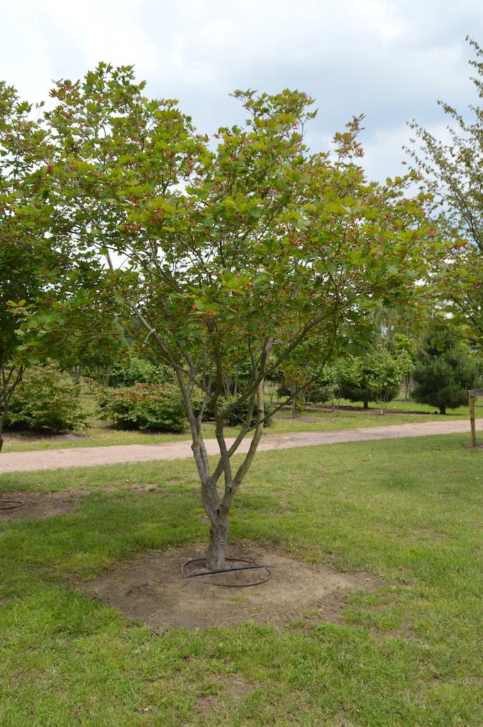 Acer japonicum 'Vitifolium' mutli-stem