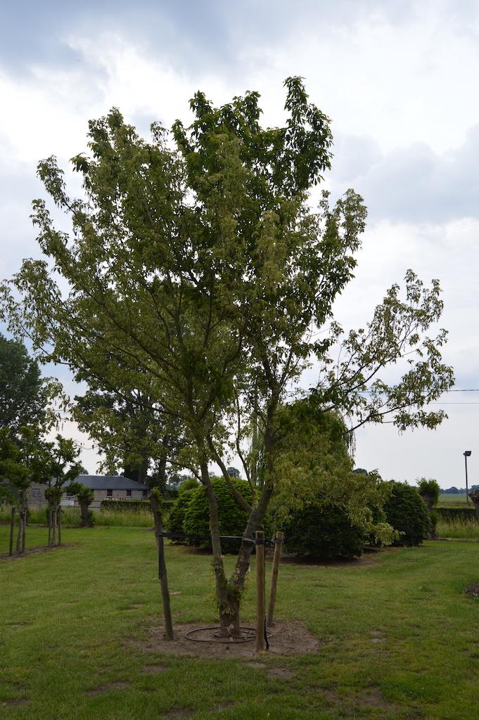 Acer negundo 'Variegata' specimen tree