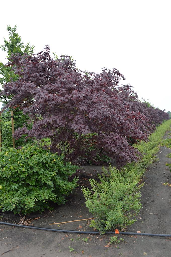 Acer palmatum 'Atropurpurem' Japanese Maples