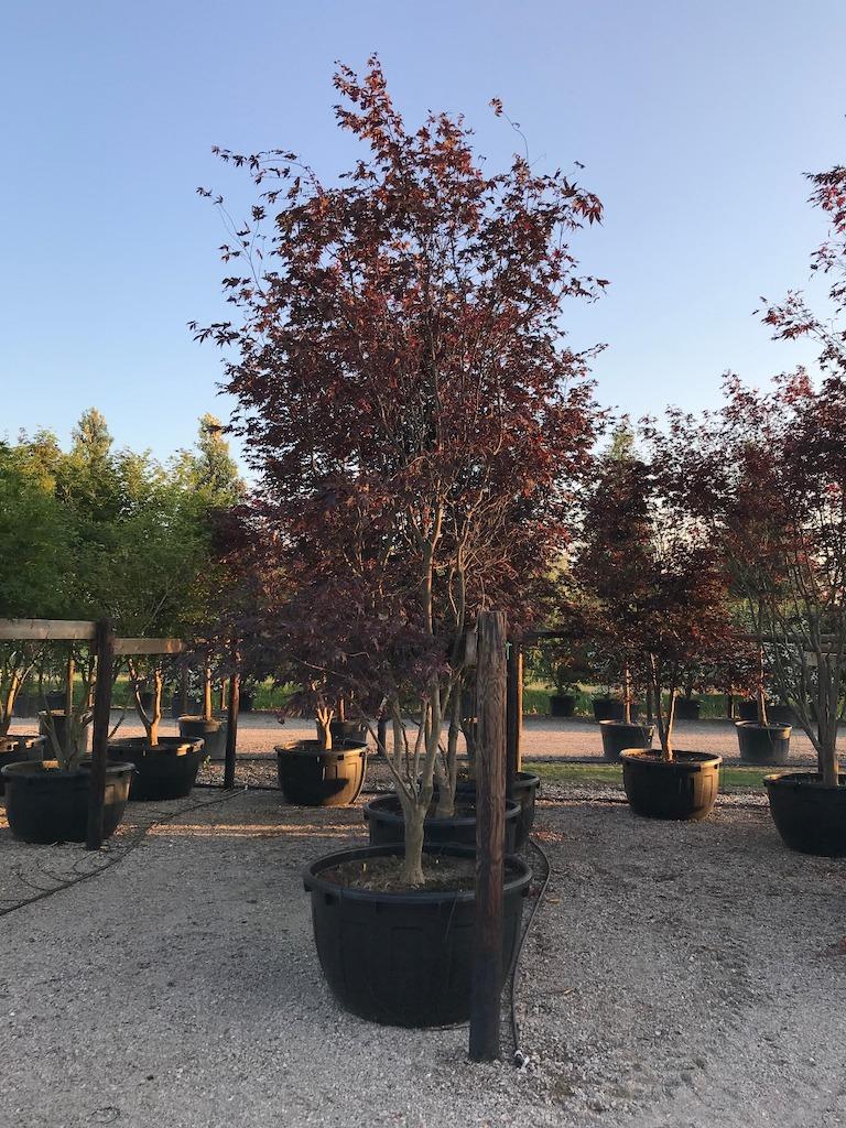 Acer palmatum 'Bloodgood' multi-stem 300-350cm C500