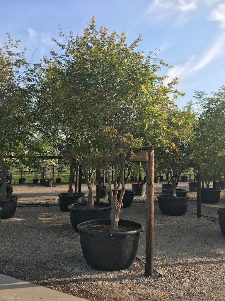 Acer palmatum 'Kogane' multi-stem 300-350cm C500