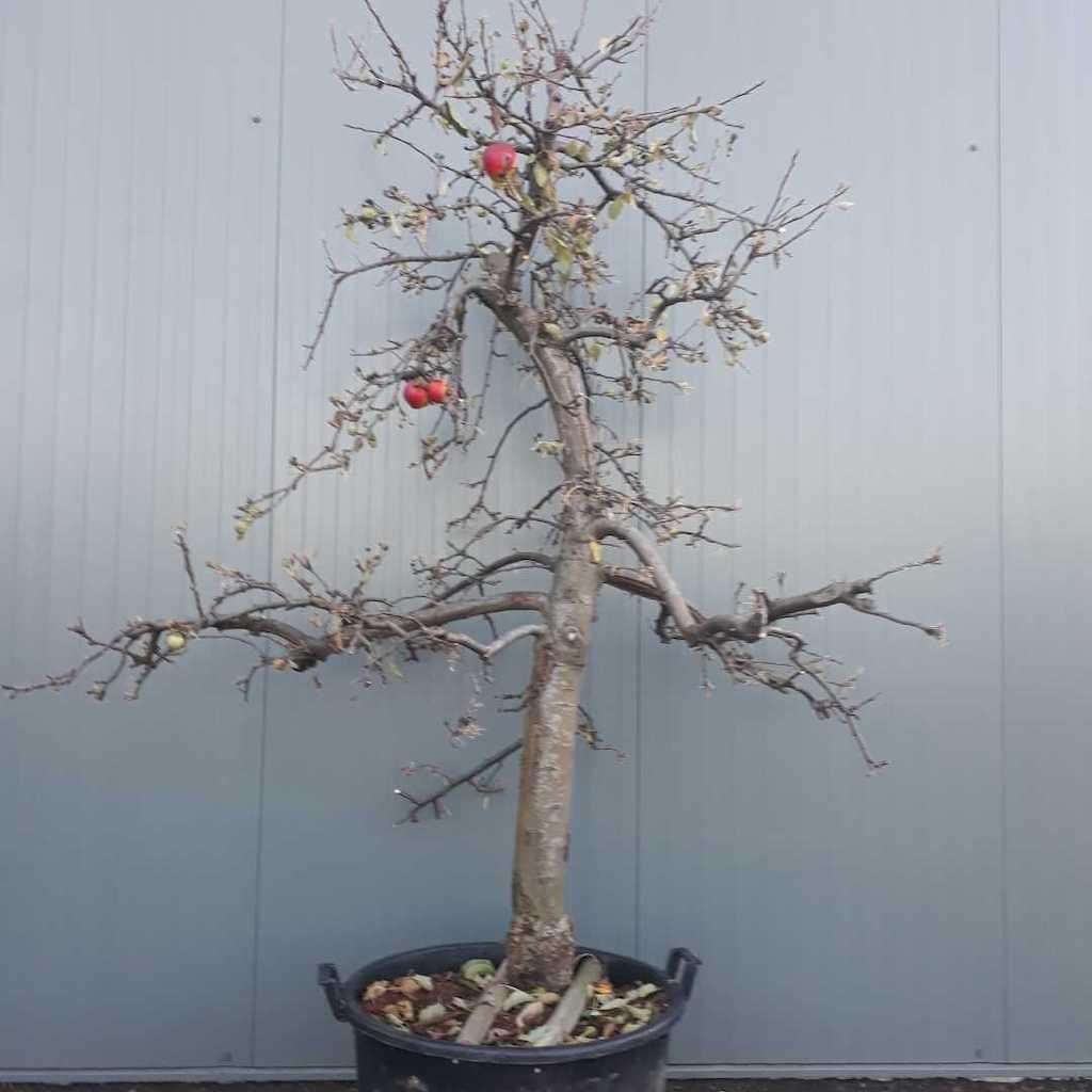 Apple - Malus domestica 'Elstar' 30-35 C130 225cm