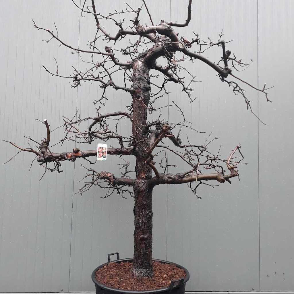 Apple - Malus domestica 'Rode Boskoop' 40+ C160 200-225cm (3)