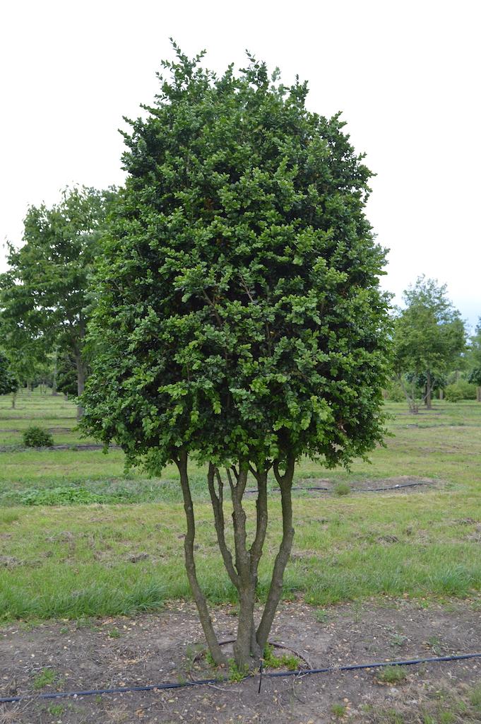 Buxus sempervirens 'Rotundifolia' multi-stem form (1)