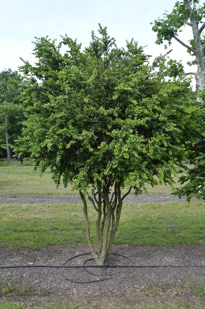 Buxus sempervirens 'Rotundifolia' multi-stem form (2)