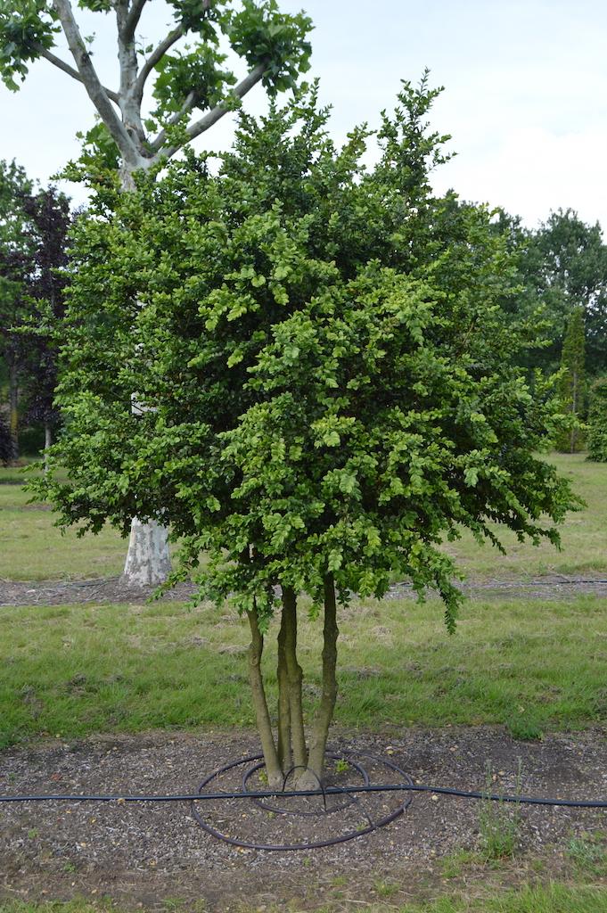 Buxus sempervirens 'Rotundifolia' multi-stem form (3)