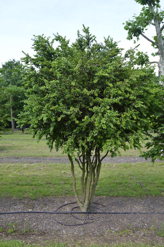 Buxus sempervirens 'Rotundifolia' multi-stem form (4)