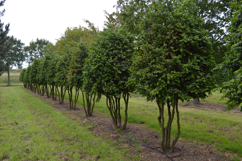 Buxus sempervirens 'Rotundifolia' multi-stem forms