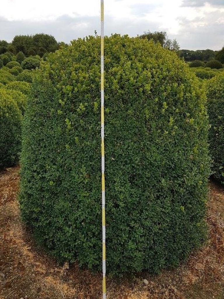 Buxus sempervirens beehive 160cm tall x 120-140cm diameter