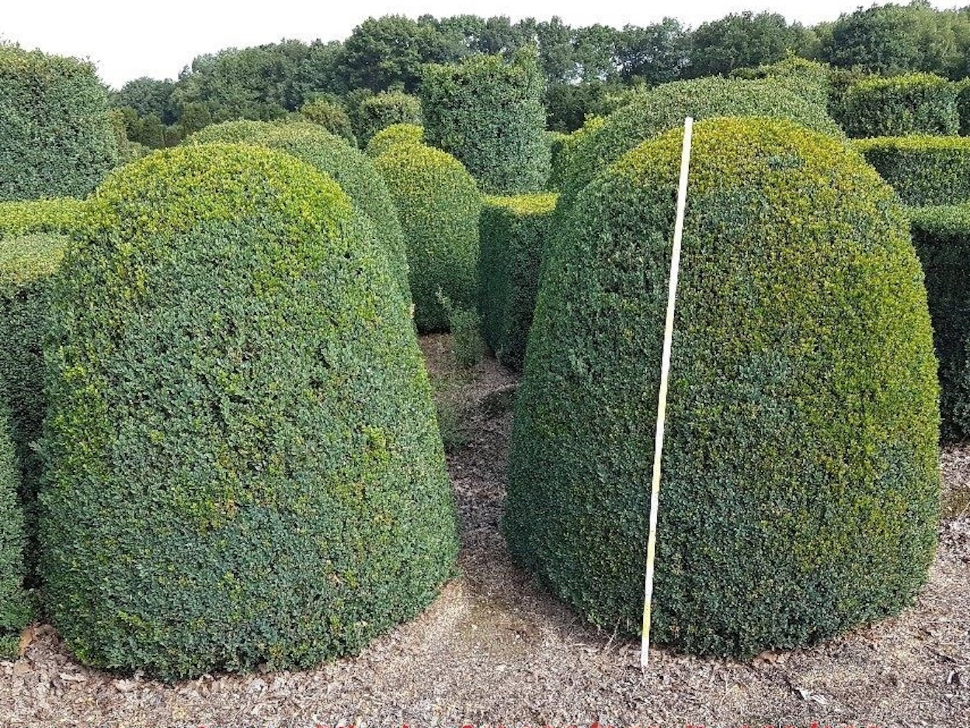 Buxus sempervirens beehives 120-140cm high, 100-120cm diameter
