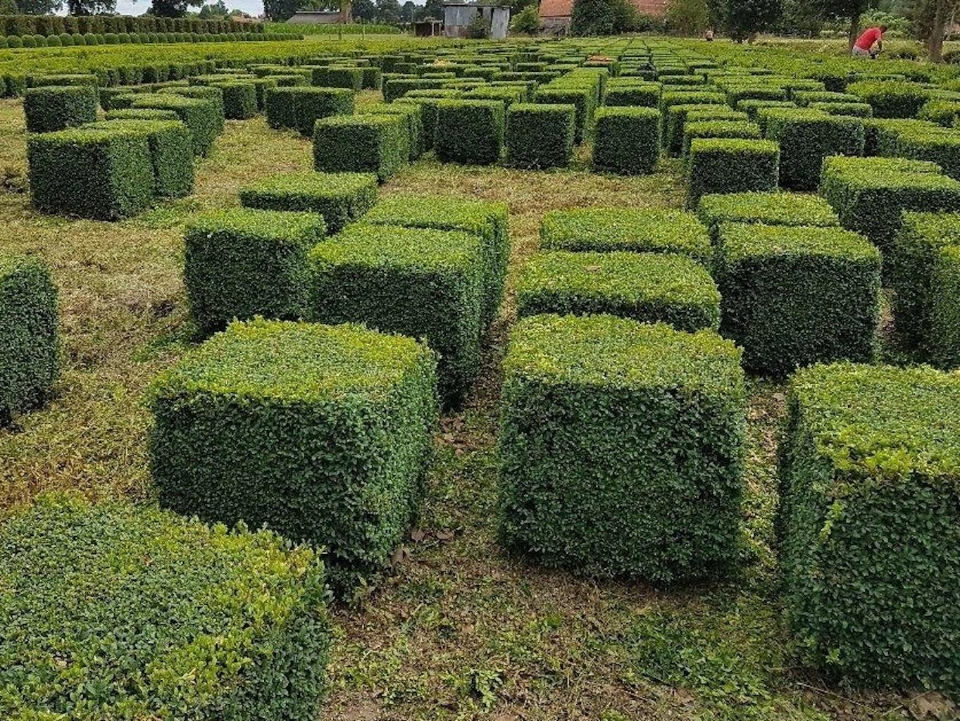Buxus sempervirens cubes 60cm x 60cm and 70cm x 70cm
