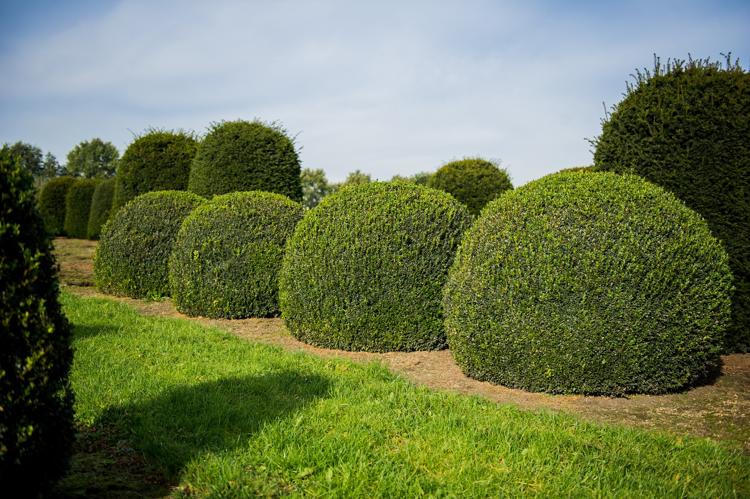 Buxus sempervirens extra large topiary Box balls