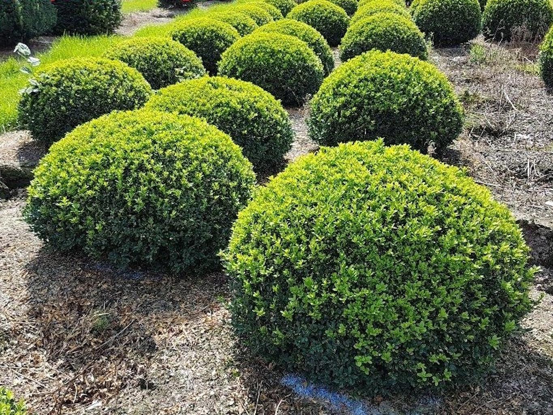 Buxus sempervirens low domes 70-80cm diameter
