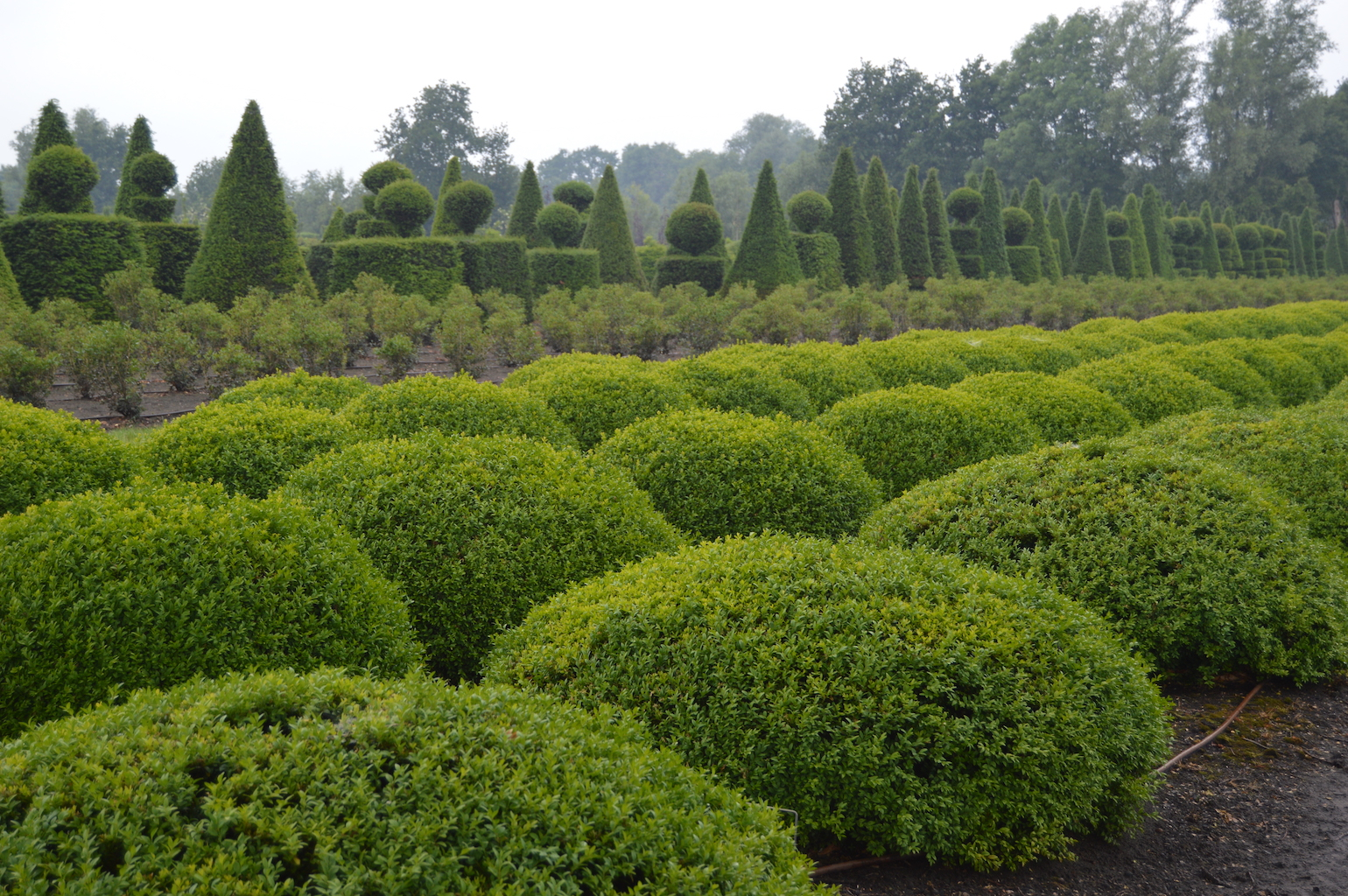 Buxus sempervirens low topiary domes (1)