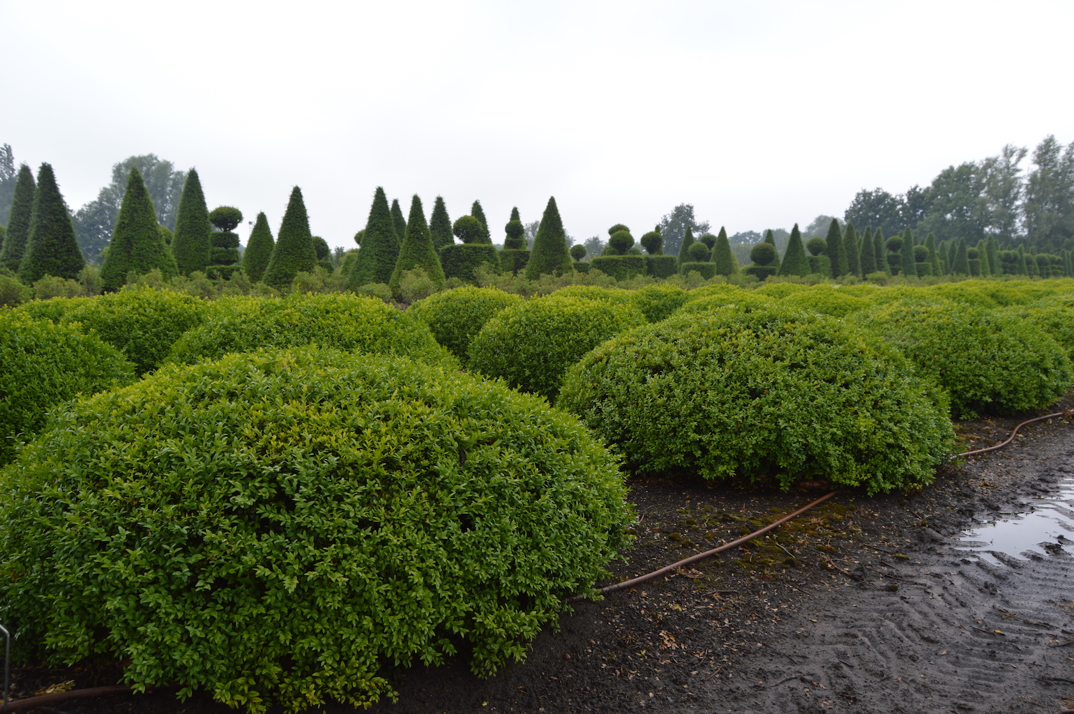 Buxus sempervirens low topiary domes (2)