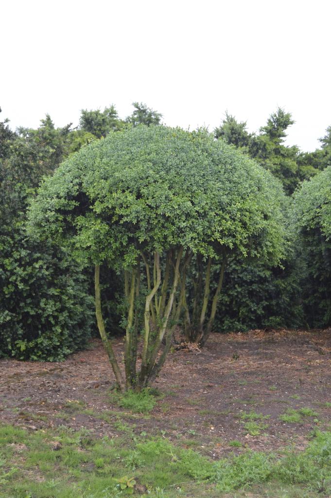 Buxus sempervirens multi-stem balls (1)
