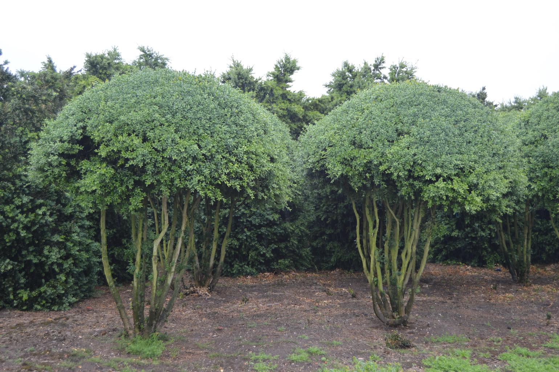 Buxus sempervirens multi-stem balls (2)
