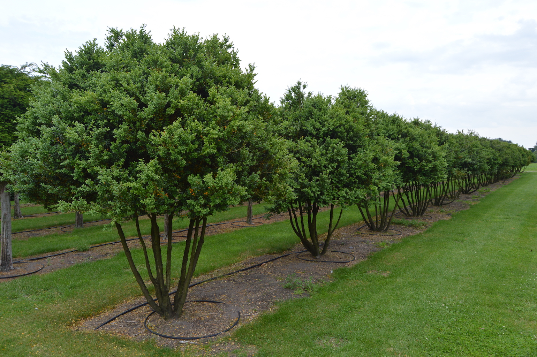 Buxus sempervirens multi-stem bushes