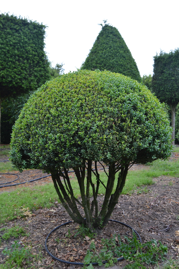 Buxus sempervirens multi-stem topiary ball
