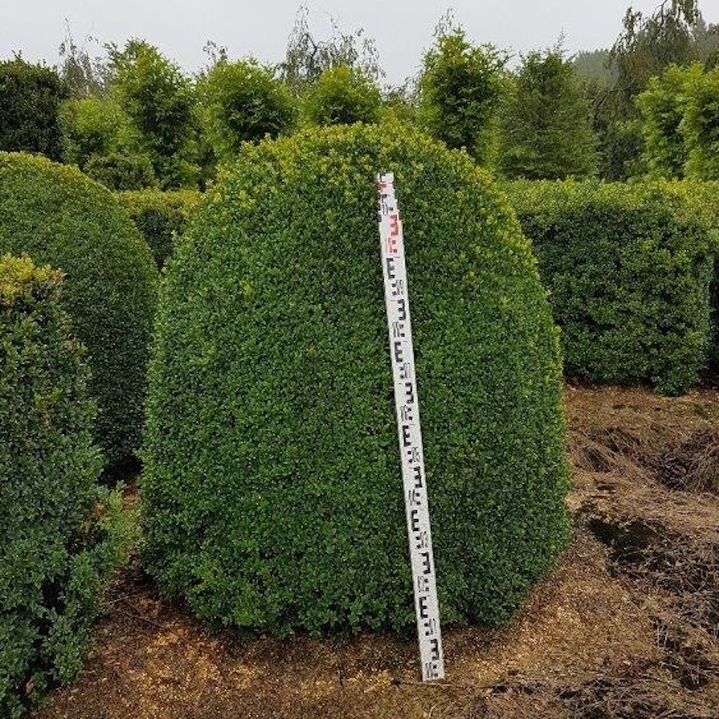 Buxus sempervirens topiary beehive 120cm high x 100-120cm wide