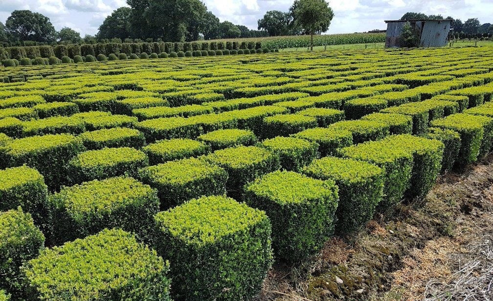 Buxus sempervirens topiary cubes 60cm x 60cm