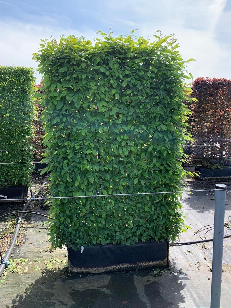 Carpinus betulus 200cm x 100cm x 30cm instant hedge element in bag