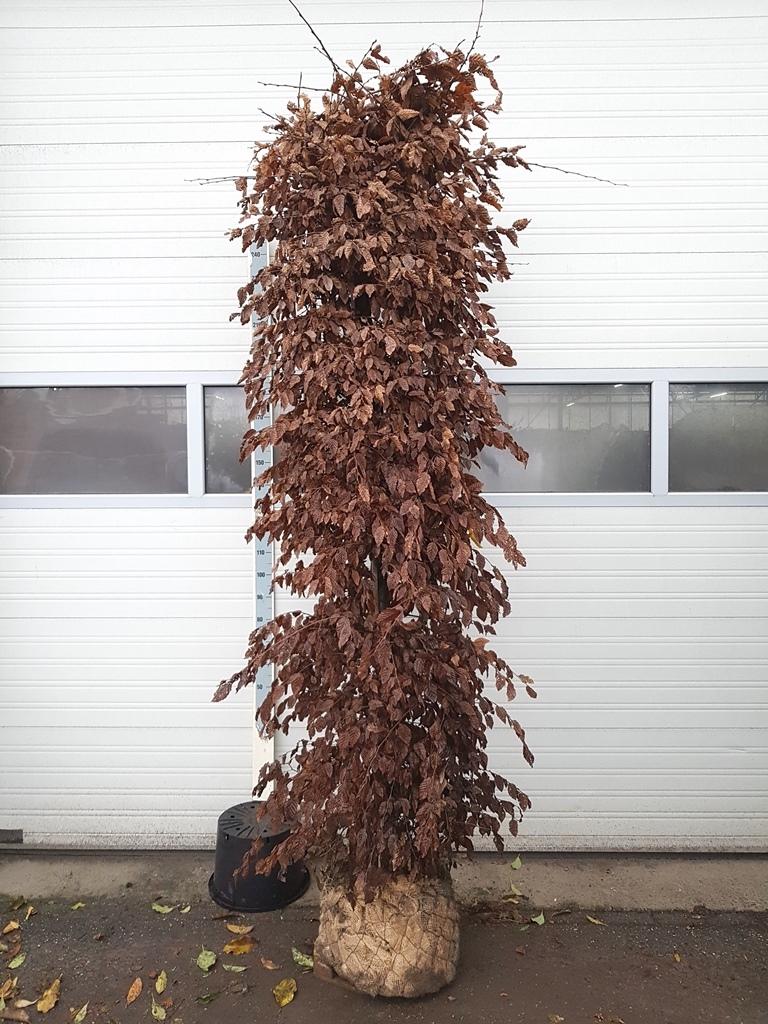 Carpinus betulus 275-200cm Ø 60cm