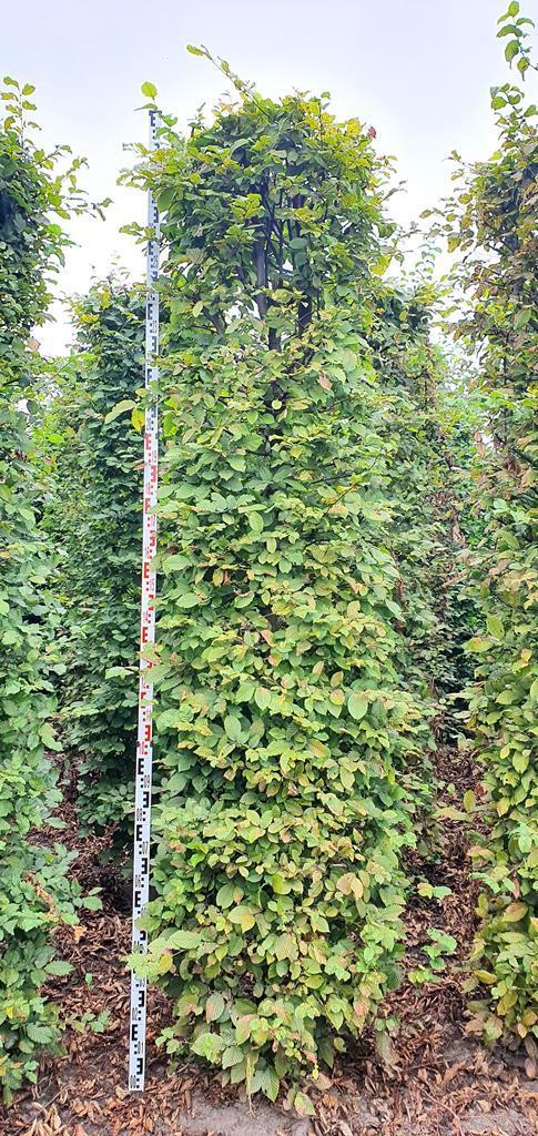 Carpinus betulus 300cm hedge plant