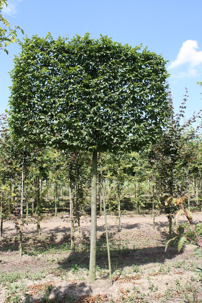 Carpinus betulus 'Frans Fontaine' pleached 30-35 grade