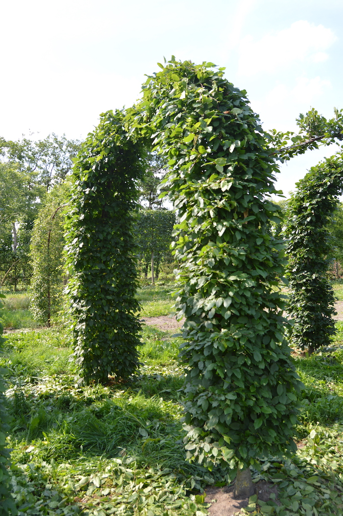 Carpinus betulus (Hornbeam) arch