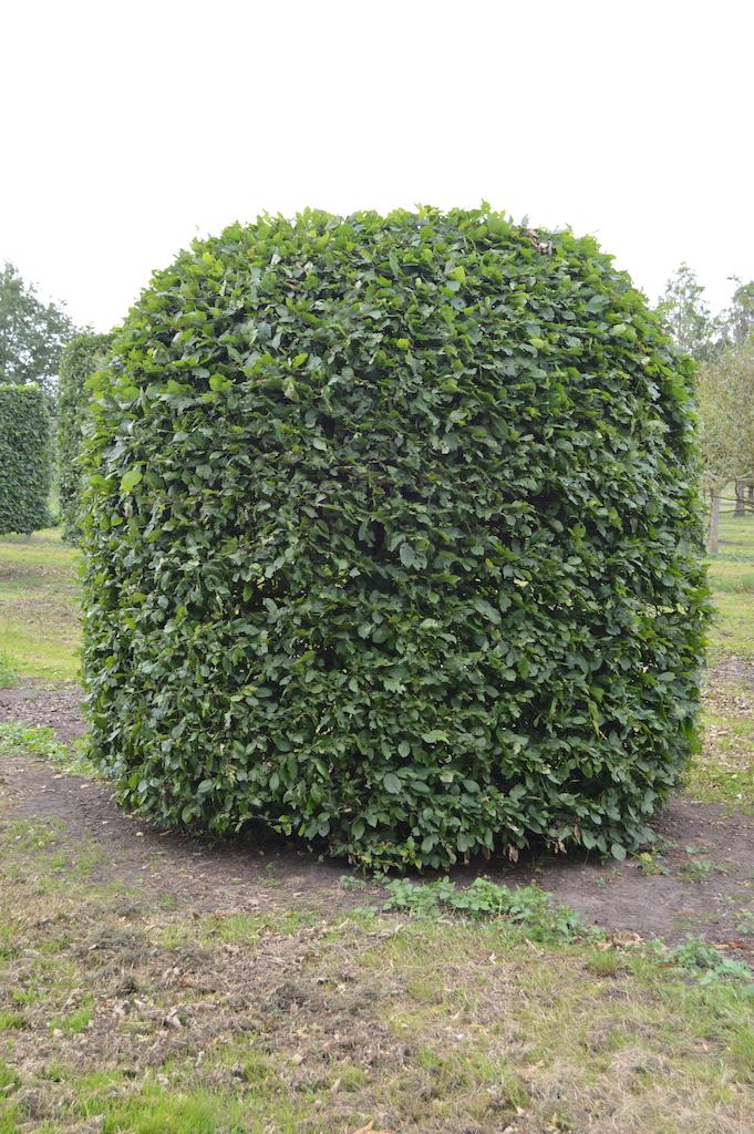 Carpinus betulus (Hornbeam) beehive (1)