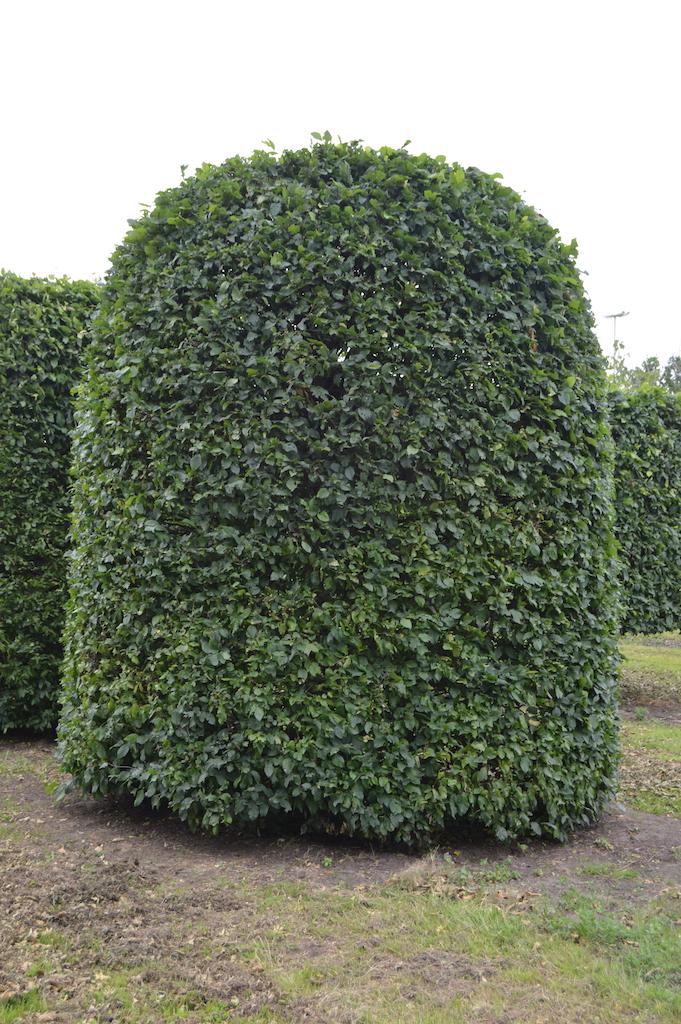 Carpinus betulus (Hornbeam) beehive (2)