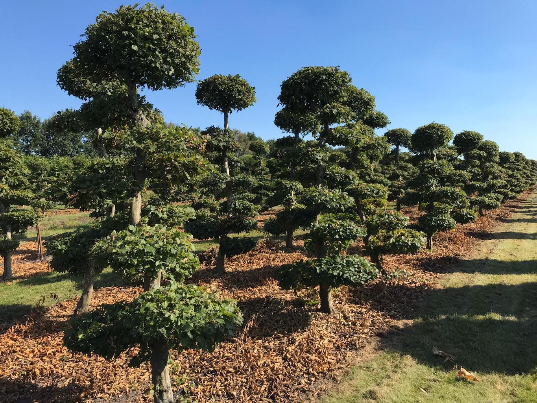 Carpinus betulus (Hornbeam) cloud pruned 225-250cm (1)