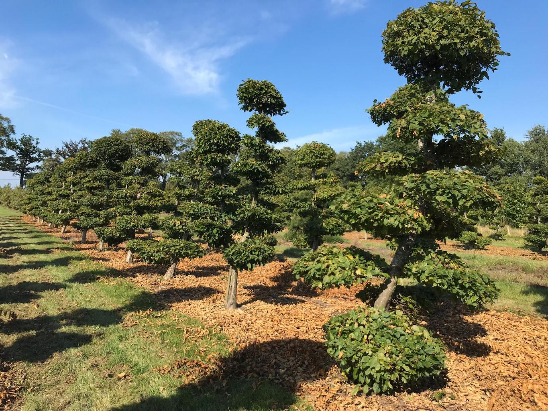 Carpinus betulus (Hornbeam) cloud pruned 225-250cm (3)
