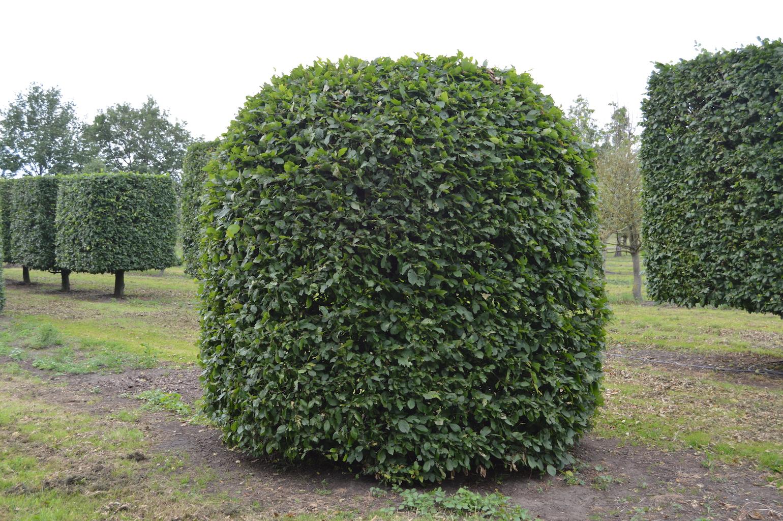 Carpinus betulus (Hornbeam) extra large beehive