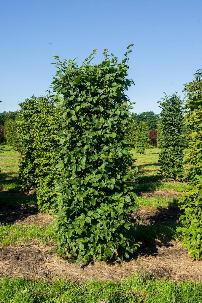 Carpinus betulus (Hornbeam) instant hedge plant