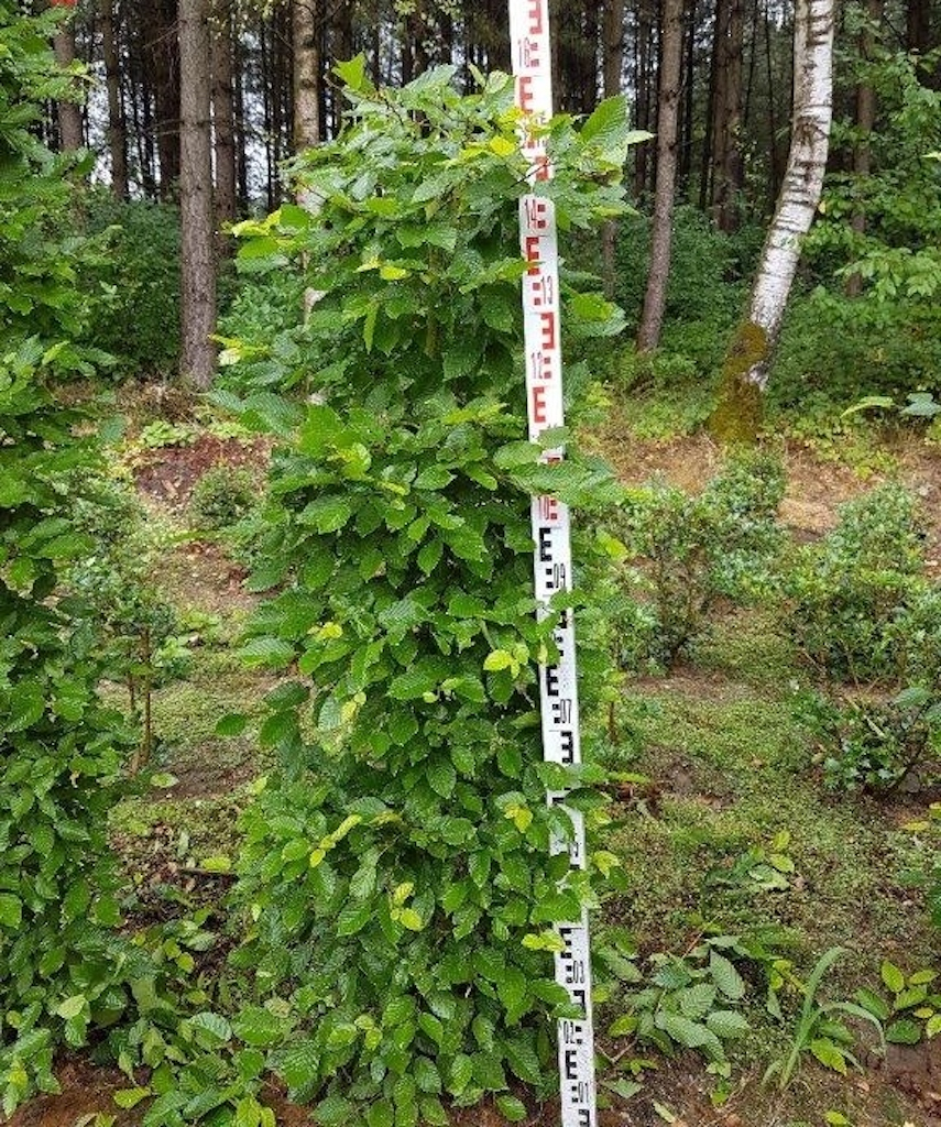 Carpinus betulus (Hornbeam) instant hedge plants 150cm x 50cm x 50cm