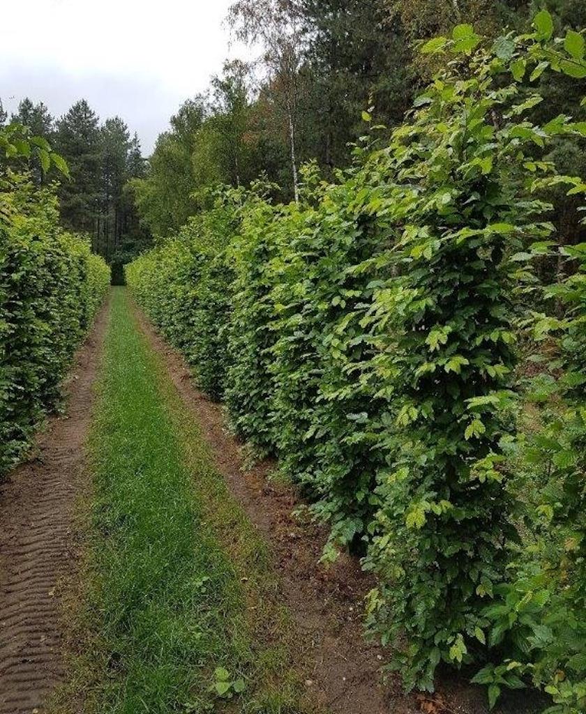 Carpinus betulus (Hornbeam) instant hedge plants 200cm x 50cm x 50cm