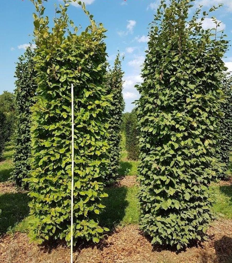 Carpinus betulus (Hornbeam) instant hedge plants 250cm x 80cm x 80cm