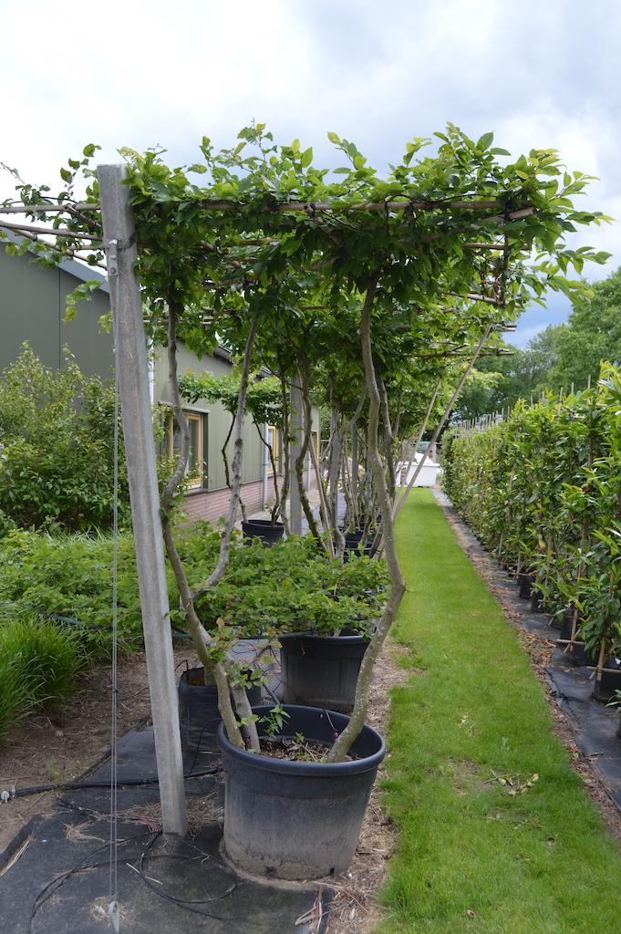 Carpinus betulus (Hornbeam) multi-stem roof-form tree (1)