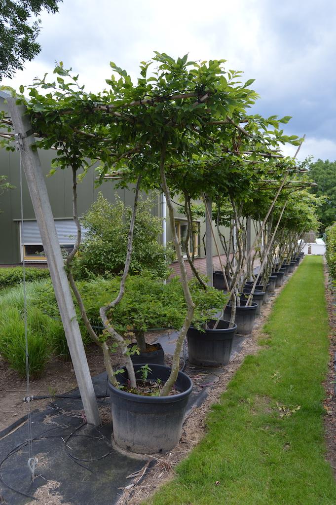 Carpinus betulus (Hornbeam) multi-stem roof-form tree (2)