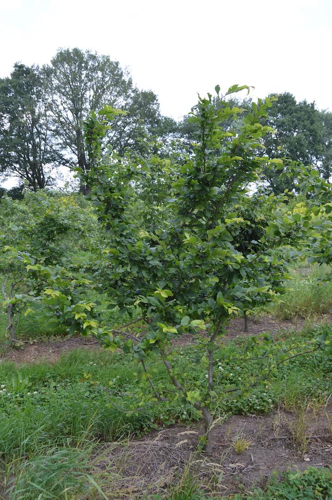 Carpinus betulus (Hornbeam) multi-stem tree (1)